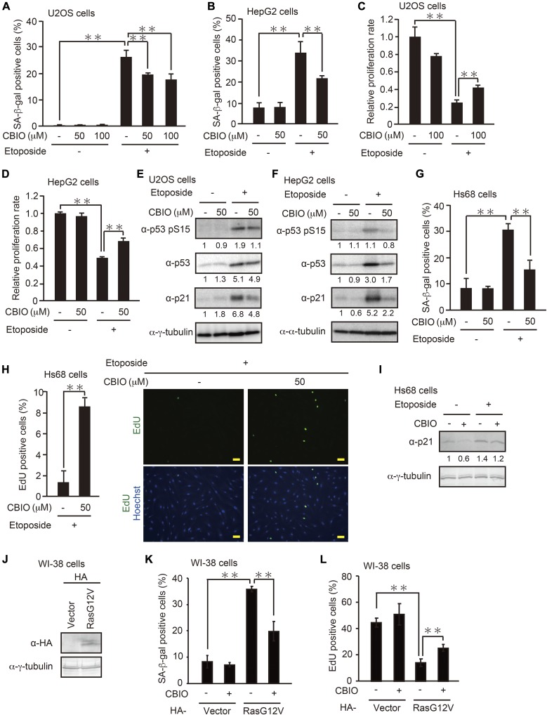 Pharmacological inhibition of DAO impairs DNA damage– and oncogene-induced senescence. (A–D) U2OS (A, C) and HepG2 (B, D) cells treated with etoposide in the presence of 50 or 100 μM CBIO were subjected to SA-β-gal staining (A, B) and colony-formation assay (C, D). (E , F) U2OS (E) and HepG2 (F) cells were treated with 2 and 10 μM etoposide, respectively, for 2 d in the presence of 50 μM CBIO, and the expression levels of the indicated proteins were determined by immunoblot analysis. The protein levels relative to the γ-tubulin levels, except for the phosphorylated p53 (p53 pS15), which was normalized to the total p53 levels, were quantified using NIH ImageJ software and are indicated at the bottom of each lane. (G, H) Hs68 cells treated with 0.5 μM etoposide for 7 d in the presence of 50 μM CBIO were subjected to SA-β-gal staining (G) and EdU incorporation assay (H). The percentage of EdU-positive cells (H, left panel) and representative microscopic images (H right panel) are shown. Bars, 50 μm. (I) Hs68 cells treated with 0.5 μM etoposide for 2 d in the presence of 50 μM CBIO were subjected to immunoblot analysis. The protein levels were quantified as in (E, F). (J) WI-38 cells were transfected with pcDNA3-HA containing oncogenic Ras G12V, and the protein expression of RasG12V was confirmed by immunoblot analysis. (K, L) WI-38 cells transfected as in (J) were selected with 300 μg/ml G418 and treated with 50 μM CBIO. After incubation for 8 d, the cells were subjected to SA-β-gal staining (K) and EdU incorporation assay (L). Data are mean ± SD ( n = 3 independent experiments). Statistical significance is shown using the t test analysis; ** P