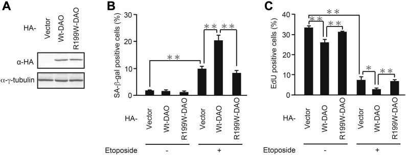 Ectopic expression of wt-DAO, but not the inactive mutant, promotes senescence. (A) U2OS cells were transfected with pcDNA3-HA containing wt- and R199W- DAO , and the protein expression of DAO was confirmed by immunoblot analysis. (B, C) U2OS cells transfected as in (A) were selected with 800 μg/ml G418 and treated with 2 μM etoposide. After incubation for 7 d, the cells were subjected to SA-β-gal staining (B) and EdU incorporation assay (C). Data are mean ± SD ( n = 3 independent experiments). Statistical significance is shown using the t test analysis; * P