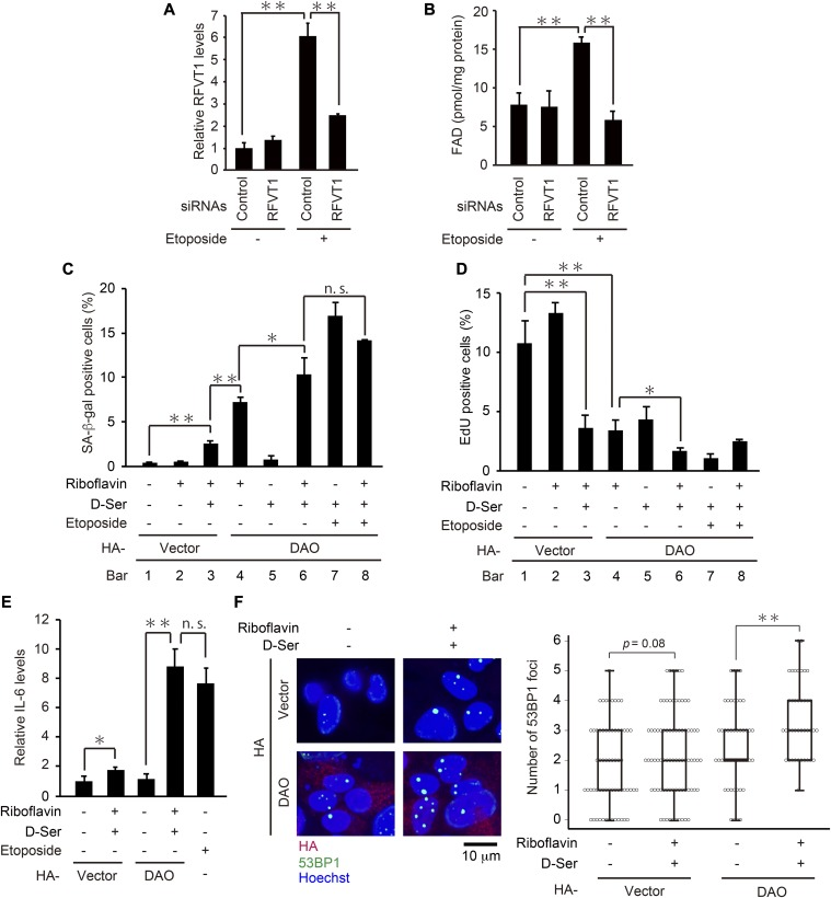 Riboflavin treatment activates the DAO activity in the absence of DNA damage. (A) U2OS cells transfected with siRNA for RFVT1 were treated with 2 μM etoposide for 7 d, and the expression levels of RFVT1 were determined by qPCR. (B) U2OS cells depleted of RFVT1 were treated with 2 μM etoposide for 7 d and subjected to FAD quantification. The concentrations of FAD per mg protein of the cells are shown. (C, D) U2OS cells were transfected with pcDNA3-HA containing wt- DAO , selected with 800 μg/ml G418, and treated with 50 μM riboflavin and 5 mM d- serine in the presence of 2 μM etoposide as indicated. After incubation for 7 d, the cells were subjected to SA-β-gal staining (C) and EdU incorporation assay (D). (E) U2OS cells were treated as in (C, D), and the expression levels of IL-6 were determined by qPCR. (F) U2OS cells overexpressing DAO were treated with 50 μM riboflavin and 5 mM d- serine for 7 d and subjected to immunostaining for 53BP1, HA, and Hoechst staining. Representative microscopic images (left) and box plots of the number of 53BP1 foci in HA-DAO–expressing cells (right) are shown. The upper and lower limits of the boxes and the lines across the boxes indicate the 75th and 25th percentiles and the median, respectively. Error bars (whiskers) indicate the 90th and 10th percentiles, respectively. Statistical significance ( P -value) is shown using the t test analysis ( n = 50 cells). Data are mean ± SD ( n = 3 independent experiments). Statistical significance is shown using the t test analysis; * P