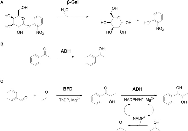 Overview of the studied reactions. (A) Hydrolysis of o-Nitrophenyl-β- d -galactopyranoside (ONPG) by β-Gal yields the monosaccharides galactose and o-nitrophenol. (B) Activity of ADH can be determined by enantioselective reduction of acetophenone to ( R )-phenylethanol. (C) The combination of BFD and ADH in a 2-step cascade reaction. Carboligation of the educts benzaldehyde and acetaldehyde catalyzed by BFD yields the intermediate ( S )-2-hydroxy-1-phenyl-propanone (( S )-HPP), which can be further reduced to the product (1 S ,2 S )-1-phenylpropane-1,2-diol (( S,S )-PPD) by ADH. The redox equivalents are delivered by the cofactor NADPH that is oxidized to NADP + . For in situ regeneration of NADPH 2-propanol was added in excess which is oxidized to acetone by the same ADH.