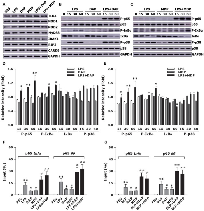 Stimulation of macrophages with the combined TLR and NOD agonists amplifies downstream NF-κB activation and augments NF-κB p65 binding to TNF-α and IL-6 promoters. Isolated BMMs were stimulated with LPS (10 ng/ml), Tri-DAP (5 μg/ml), MDP (5 μg/ml), and their combinations either for 30 min (A) or for the indicated time periods (B,C) . Cytoplasmic proteins were extracted and subjected to immunoblotting for detection of either TLR4, NOD1, NOD2, MyD88, IRAK1, RIP2, and CARD9 (A) or total and phosphorylated p65 (P-p65), total and phosphorylated IκBα (P- IκBα), and total and phosphorylated p38 (P-p38) (B,C) . Results shown represent one experiment from a total of three to four separate experiments. The intensity of P-65, total IκBα, P-IκBα, and P-p38 signal in each band was normalized by GAPDH (D,E) . Data are expressed as mean ± SD from three to four separate experiments. * p
