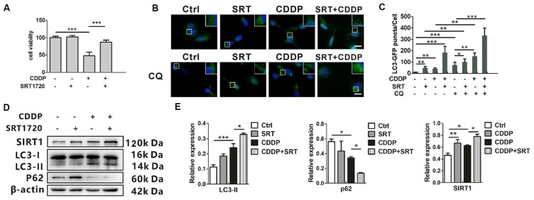 SIRT1 activates autophagy and promotes HEI-OC1 cell survival after cisplatin-induced damage. (A) The CCK8 assay was performed to examine cell viability of HEI-OC1 cells following CDDP (20 μM) exposure for 24 h with or without SRT1720 pre-treatment for 24 h (0.5 μM; n = 3 individual experiments). (B,C) The fluorescence image of green fluorescent protein (GFP)-LC3 HEI-OC1 cells after CDDP (20 μM) exposure with or without SRT1720 (0.5 μM) and CQ (10 μM). Scale bar, 10 μm. Quantity analysis of green puncta was detected in five cells/experiment ( n = 3 individual experiments). (D,E) Western blots and densitometry analysis for SIRT1 and autophagy marker LC3-II and p62 in CDDP (20 μM) exposure for 24 h with or without SRT1720 pre-treatment for 24 h (0.5 μM; n = 3 individual experiments). Data represent the mean ± SEM. * p