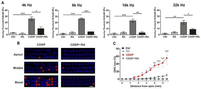 Autophagy activation attenuates cisplatin-induced hair cell loss and hearing loss in C57BL/6 mice. (A) Auditory brainstem response (ABR) thresholds decreased with RA (7.5 mg/kg, intraperitoneal injection pre-24 h, pre-1 h, post-24 h) treatment mice in CDDP (16 mg/kg, intraperitoneal injection) exposure compared with the CDDP groups at 4, 8, 16 and 32 kHz ( n = 6 mice). (B,C) Surface preparations were stained with 4′,6-diamidino-2-phenylindole (DAPI). Hair cell counts obtained for the CDDP and CDDP+RA group ( n = the right cochlea of six mice). Scale bar, 10 μm. Data represent the mean ± SEM. * p