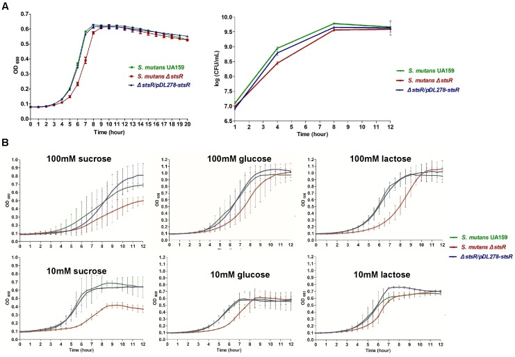 Determination of growth curves of S. mutans UA159, S. mutans Δ stsR , and Δ stsR/pDL278-stsR . S. mutans UA159, S. mutans Δ stsR , and Δ stsR/pDL278-stsR strains were cultivated in BHI to mid-exponential phase and then diluted into (A) fresh BHI broth or (B) TV base medium supplemented with either 10 mM (limiting) or 100 mM (excess) sucrose, glucose, or lactose. Growth curves were monitored with a Multiskan Spectrum (Thermo, Multiskan Go, United States), and the OD 600 was measured in 1 h intervals. (A) For CFU counts, after diluted, the bacteria were cultured at 37°C for 1, 4, 8, and 12 h. Then bacterial suspension was serially diluted in BHI and plated on BHI agar plates. CFU values were calculated after the plates were incubated anaerobically at 37°C for 48 h. Error bars represent standard deviations based on results from at least three biological replicates.