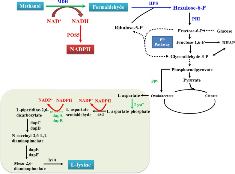 Methanol bioconversion for improved lysine synthesis in synthetic methylotrophic E. coli . Enzymes required for the assimilation of methanol into central metabolism are shown in blue: MDH methanol dehydrogenase, HPS 3-hexulose-6-phosphate synthase, and PHI 6-phospho-3-hexuloisomerase. The genes overexpressed in the lysine biosynthetic pathway are shown in green. The cofactor generation pathway was reconstructed by expressing POS5 from S. cerevisiae to convert extra NADH and generate NADPH, which is shown in red