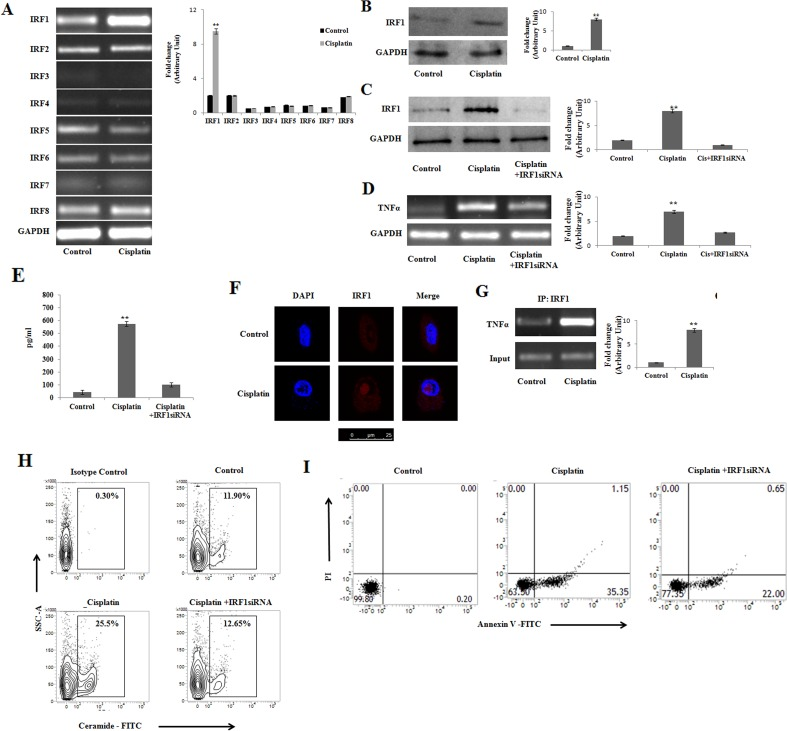 Cisplatin induces IRF-1 dependent TNFα activation for initiation of apoptosis in PKCδ silenced B16F10 melanoma cells (A) and (B) B16F10 cells were transfected with PKCδ siRNA followed by Cisplatin treatment. The treated cells were collected in TRIZOL for mRNA extraction and semi quantitative RT-PCR analyses for IRF 1- 8 were done. The expression IRF 1 was analyzed in whole cell lysates by Western blotting. GAPDH was used as a reference. Data are from one of three representative experiments. Bar diagram is represented as mean ± SD. * P