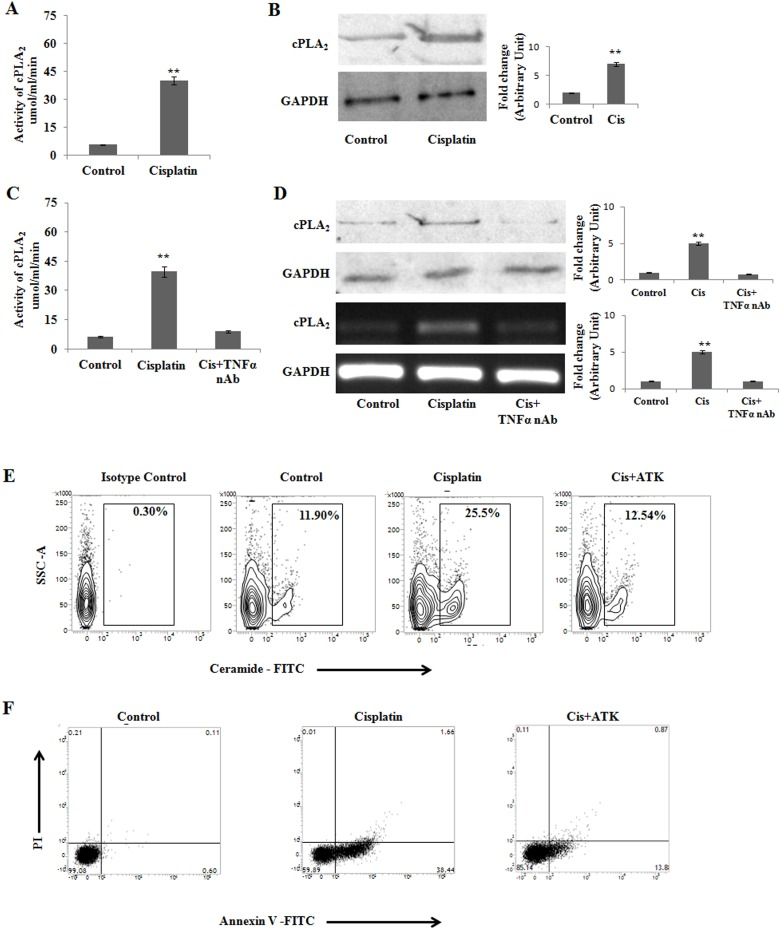 cPLA 2 modulates cisplatin mediated apoptosis in PKCδ silenced B16F10 melanoma cells (A) and (B) B16F10 cells were transfected with PKCδ siRNA followed by Cisplatin treatment. cPLA 2 activity was determined from cell lysates using the cytosolic phospholipase A2 assay kit according to the manufacturer's instructions. Bar diagram is represented as mean ± SD. * P