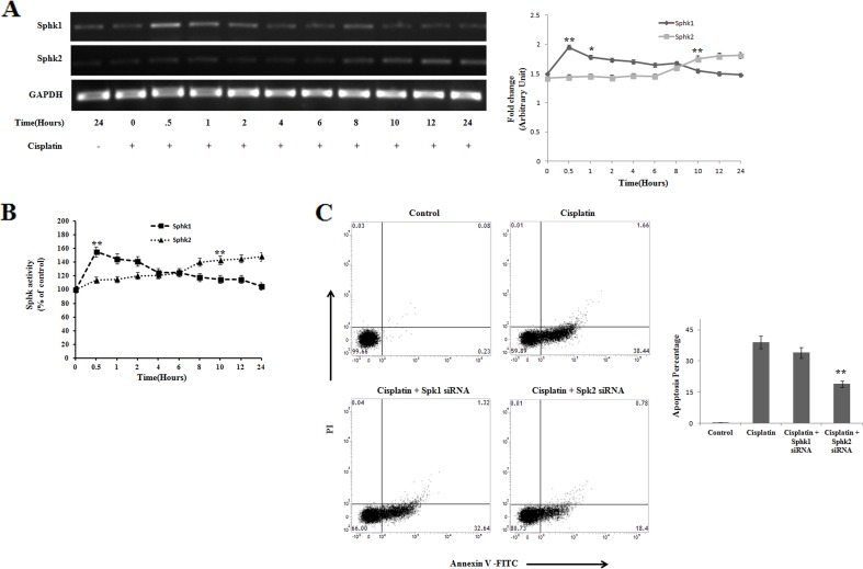 Reciprocal regulation of Sphingosine kinase 1 and Sphingosine kinase 2 on <t>cisplatin</t> treated PKCδ silenced B16F10 melanoma cells (A) B16F10 cells were transfected with PKCδ siRNA followed by cisplatin treatment in a time dependent manner. At different time points the treated cells were collected in <t>TRIZOL</t> for Sphk1 and Sphk2 mRNA expression by semi quantitative RT-PCR analysis. GAPDH was used as a reference. Data are from one of the three representative experiments. At different time points, data were represented as mean ± SD. * P