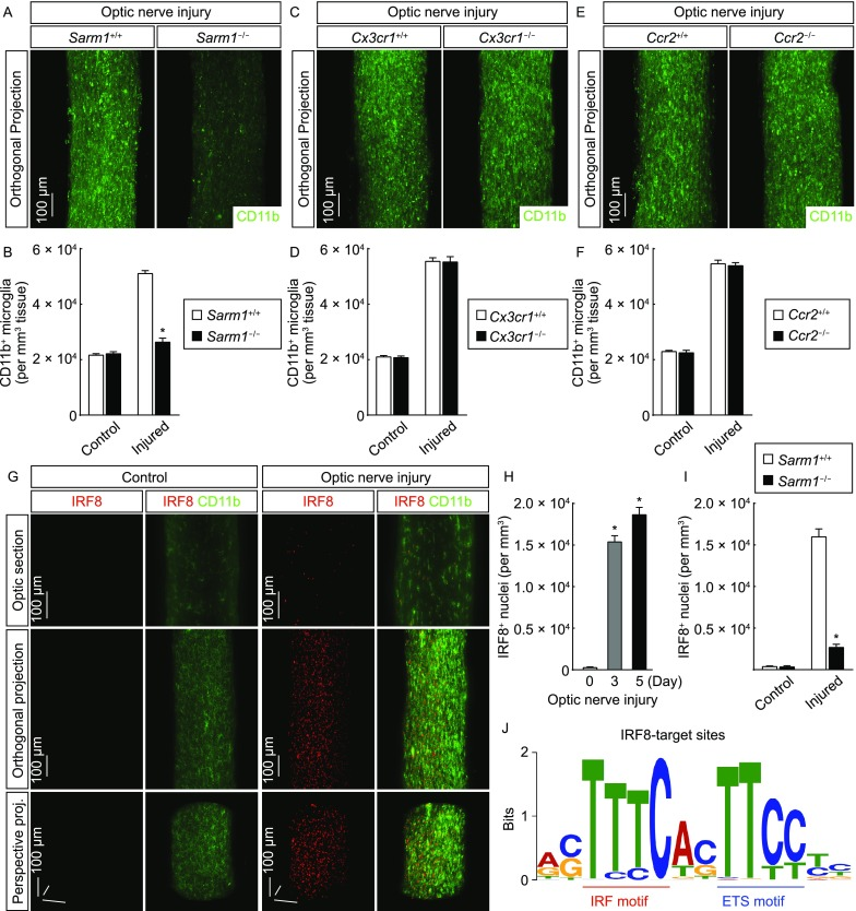 Transcription factor IRF8 acts in microglial activation . (A and B) Microglial activation depends on Sarm1-mediated neurodegeneration. Sarm1 +/+ vs. Sarm1 −/− mice were subjected to optic nerve injury. The control and injured nerves were processed for the whole-tissue immunolabeling of CD11b and imaged on the lightsheet microscope. (A) Representative orthogonal 3D-projection images of the injured nerves. (B) Density of CD11b + microglia. n = 4, mean ± SEM, * P