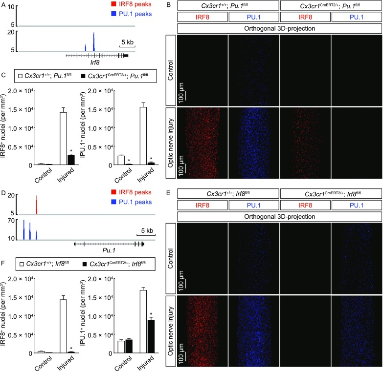 Cross-regulation of <t>IRF8</t> and PU.1 in microglial activation . (A) PU.1 directly targets IRF8 expression in microglial activation. IRF8 and PU.1 target sites at the gene locus of Irf8 are shown. (B and C) PU.1 regulates IRF8 expression. Cx3cr1 +/+ ; Pu.1 fl / fl vs. Cx3cr1 CreERT2 /+ ; Pu.1 fl / fl mice were treated with 4-hydroxytamoxifen to induce the Cre-recombinase activity and then subjected to optic nerve injury. The control and injured nerves were processed for the whole-tissue immunolabeling of IRF8 or PU.1 and imaged on the lightsheet microscope. (B) Representative orthogonal 3D-projection images of the optic nerves. (C) Density of IRF8 + or PU.1 + nuclei. n = 3, mean ± SEM, * P