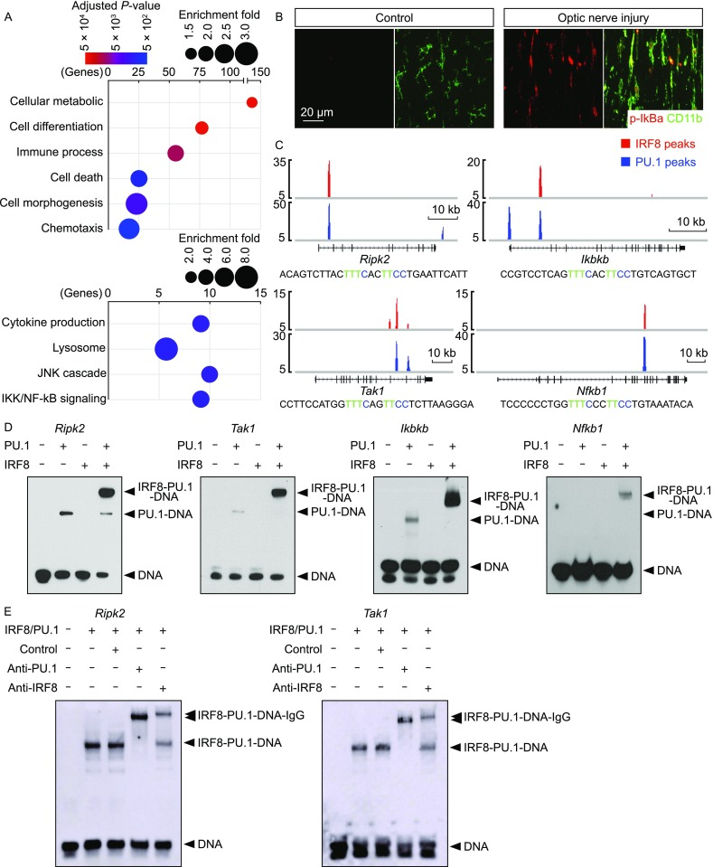 IRF8 and PU.1 cooperatively target microglial activation-related genes . (A) IRF8 and PU.1 cooperatively regulate microglial activation-related genes. The genes that contained the IRF8-PU.1 co-target sites were subjected to GO enrichment analysis. Enriched biological processes and signaling pathways are shown. (B) Activation of the NF-κB pathway in microglial activation. Wild-type mice were subjected to optic nerve injury. The control and injured nerves were examined by immunohistochemistry for p-IκBα and CD11b. (C) IRF8 and PU.1 directly target the key signaling components of the NF-κb pathway. IRF8 and PU.1 target sites at the indicated gene loci are shown. The sequence of the DNA probe derived from the IRF8-PU.1 co-target site at each locus is included, with the IRF-ETS composite motif highlighted. (D and E) Biochemical assembly of the ternary complex of the composite-motif DNA with IRF8 and PU.1 proteins. (D) Synergetic binding of IRF8 and PU.1 to the composite-motif DNA, derived from the gene loci of Ripk2 , Tak1 , Ikbkb or Nfkb1 , was examined by EMSA. (E) Supershift of the composite-motif DNA/IRF8/PU.1 ternary complex with anti-IRF8 or anti-PU.1 antibody