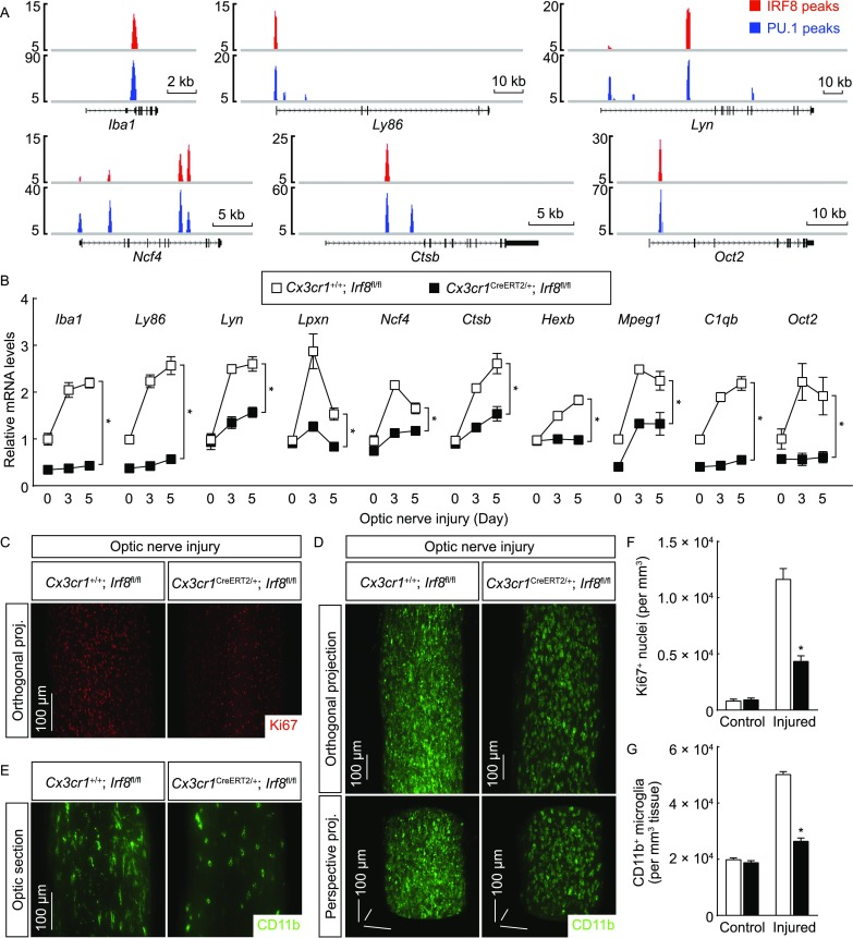 Post-developmental IRF8 is required for microglial activation . (A) IRF8 and PU.1 cooperatively target microglial activation-related genes. IRF8 and PU.1 target sites at the indicated gene loci are shown. (B–G) Post-developmental IRF8 is required for microglial activation. Cx3cr1 +/+ ; Irf8 fl / fl vs. Cx3cr1 CreERT2 /+ ; Irf8 fl / fl mice were treated with 4-hydroxytamoxifen to induce the Cre-recombinase activity and then subjected to optic nerve injury. (B) Expression levels of the indicated genes in the optic nerves were examined by qPCR analysis. n = 4, mean ± SEM, * P