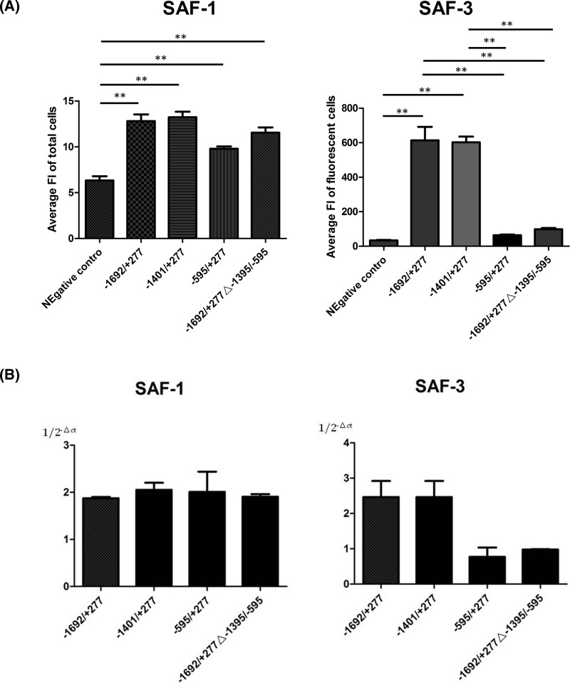 Expression of SAF-1 and SAF-3 variants driven by alternative promoters The biochromatic fluorescent reporters were driven by −1692/+277 promoter of SAF/MAZ gene or −1401/−277, −595/+277, and −1692/+277Δ−1401/−595 SAF-1. The average FIs of cells were analyzed for SAF-1 and SAF-3 by flow <t>cytometry</t> ( A ).The data shown represent the difference of mean ±SEM of three separate expreiments between two groups indicated by line below star symbols (** P