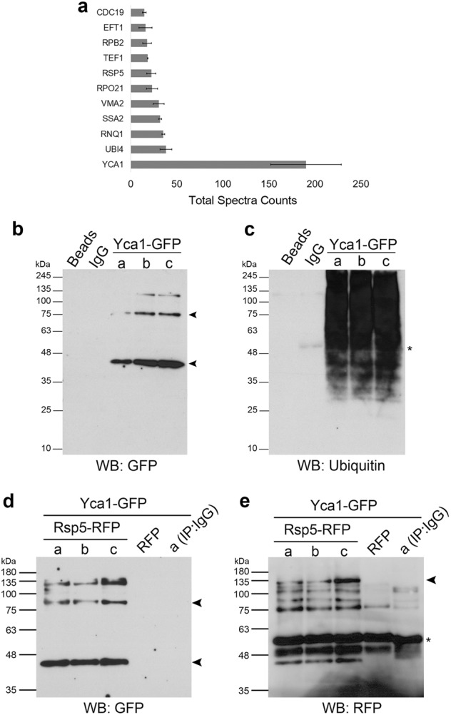Yca1 interacts with components of the ubiquitin pathway. a LC-MS/MS analysis of Yca1-RFP pulldown depicted ubiquitin (Ubi4) and the E3 ligase Rsp5 in high abundance (Total Spectra Counts). Data represented as mean ± SEM. n = 3. b Yca1-GFP cells were used to isolate ubiquitinated proteins which was further probed with anti-GFP antibody to detect the presence of Yca1-GFP. The arrows highlight the full length and processed forms of Yca1-GFP. Predicted size of full length Yca1-GFP is 76 kDa and processed form in 37 kDa. Protein G beads and anti-IgG antibody conjugated beads were used as controls. Lowercase letters denote independent replicates. n = 3. c Extracts in b were probed with anti-ubiquitin antibody to detect the presence of the bait. The asterisk (*) highlights the presence of IgG. d Rsp5-RFP was expressed from a plasmid in the Yca1-GFP strain and assessed for interaction between Yca1 and Rsp5 via anti-RFP immunoprecipitation followed by anti-GFP immunoblotting. Lowercase letters denote replicate samples. The arrows highlight the full length and processed forms of Yca1-GFP. The empty vector transformed Yca1-GFP cells (RFP) was used as an interaction control. Anti-IgG antibody conjugated beads were used to probe replicate 'a' as an additional control. n = 3. e Extracts in d were probed with anti-RFP antibody to detect the presence of the bait Rsp5-RFP (highlighted with an arrow). The estimated size of Rsp5-RFP is 119 kDa. The asterisk highlights the presence of IgG