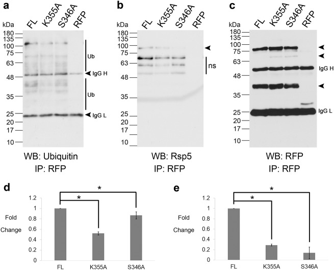 Ubiquitination at K355 is mediated by S346 dependent on the interaction with Rsp5. a Proteins interacting with FL, K355A, S346A and RFP (vector control) were isolated and probed for presence of ubiquitin and ubiquitin conjugate material with anti-ubiquitin antibody. n = 3. Ub – highlights ubiquitin bands and IgG H/L highlights immunoglobin heavy and light chains. b Extracts from a were probed for the presence of Rsp5 using anti-Rsp5 antibody. The arrow highlights the position of Rsp5. The expected size of Rsp5 is 92 kDa. 'ns' identifies non-specific bands. n = 3. c Extracts from a were probed for the presence of the respective fusion proteins via anti-RFP immunoblotting. The arrows highlight the full length and processed from Yca1-RFP. The expected size of the full length fusion proteins is 76 kDa. The expected sizes of the processed forms of the fusion proteins are 63 kDa and 37 kDa. IgG H/L highlights immunoglobin heavy and light chains. n = 3. A shorter exposure for this blot is depicted in Supplementary Fig. S1c , which was used for densitometry and normalization. d Graph depicting the level of interaction between FL, K355A and S346A and ubiquitin and ubiquitinated material as assessed via densitometry, normalized to the amount of bait (individual RFP fusion) recovered in c (sum of bands indicated with arrows). n = 3. Data represented as mean ± SEM. * p value