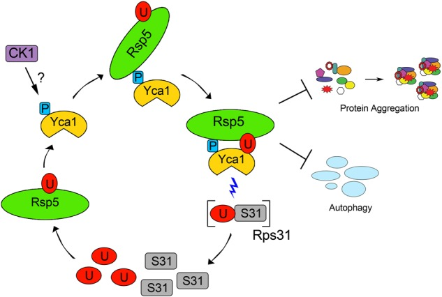 Yca1 maintains proteostasis through direct participation in the ubiquitin cycle. Phosphorylation of the S346 residue (P) on Yca1 by candidate kinases such as casein kinase 1 (CK1), is recognized by <t>Rsp5,</t> which leads to ubiquitination (U) at K355. In turn, these modifications influence Yca1's ability to limit protein aggregation and autophagy as well as target and liberate free ubiquitin from precursor proteins (Rps31). Once liberated, the free ubiquitin may cycle back to maintain Yca1 activity or be used for modifying other proteins to maintain proteostasis within the cell