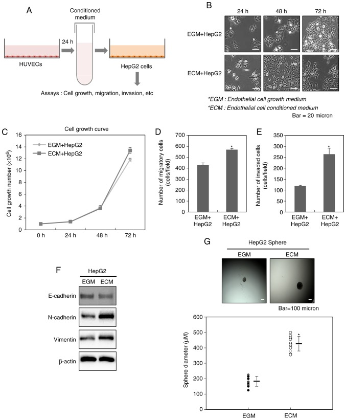Endothelial cells increase the malignant potential of liver cancer cells. (A) A schematic illustration showing the procedure for the acquisition of the conditioned medium obtained from HUVECs and the applications in this study. (B) Morphological changes of HepG2 cells after the treatment with ECM. (C) Effect of ECM on the growth of HepG2 cells. After HepG2 cells were treated with ECM, the cell counting was performed at 24, 48 and 72 h. Increased (D) migration and (E) invasion of HepG2 cells after the treatment with ECM. The migratory and invasive properties of the cells were measured using the Transwell chamber. (F) Western blot analysis for the expressions of N-cadherin and vimentin after the treatment with ECM. Experiments were performed in triplicate, and the data shown are representative of a typical experiment. (G) Quantification of sphere-forming abilities of HepG2 cells after the treatment with ECM. The cells were grown in DMEM/F12 supplemented with B27, N2, basic fibroblast- and epidermal growth factor onto 24-well ultra-low attachment plates at 300 cells per well for 7 days, and the size of spheres were determined. To measure the size of sphere, 12 spheres per group (n=12/group) were randomly selected. The average size of each sphere is quantified in the standard deviation and shown in the representative graph. Results from three independent experiments are expressed as mean ± 1 SEM (*P