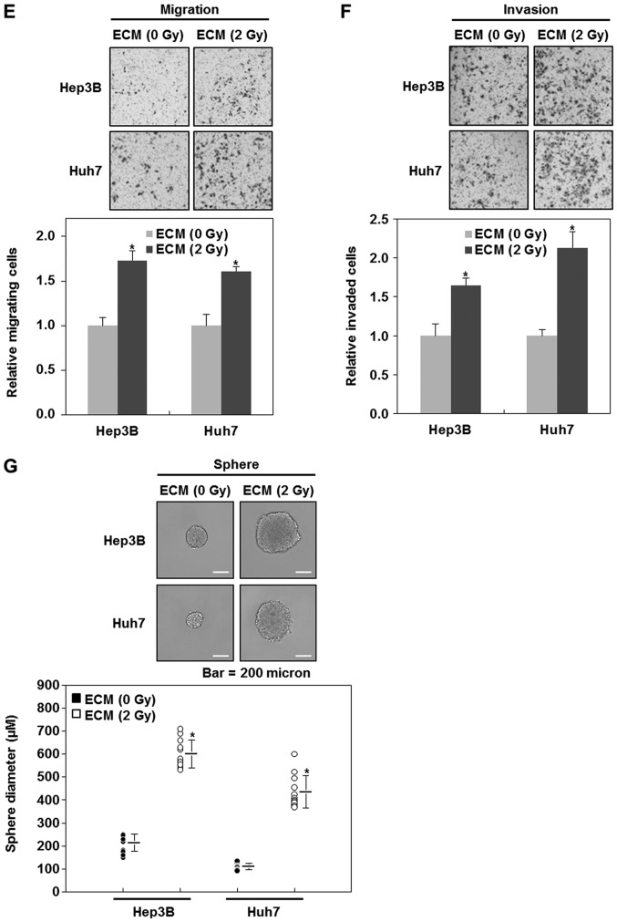 2 Gy-irradiated endothelial cells enhance the malignant potential of liver cancer cells. (A) Migratory and (B) invasive properties of HepG2 cells after the treatment with ECM obtained from irradiated HUVECs. These properties of the cells were measured using the Transwell chamber (×200 magnification). (C) Western blot analysis for the expressions of E-cadherin, N-cadherin, vimentin, slug, zeb1 and snail after the treatment with ECM. Experiments were performed in triplicate, and the data shown are representative of a typical experiment. (D) Quantification of sphere-forming abilities of HepG2 cells after the treatment with ECM obtained from irradiated HUVECs. The cells were grown in DMEM/F12 supplemented with B27, N2, basic fibroblast- and epidermal growth factor onto 24-well ultra-low attachment plates at 300 cells per well for 7 days, and the size of spheres were determined. To measure the size of sphere, 12 spheres per group (n=12/group) were randomly selected. The average size of each sphere is quantified in the standard deviation and shown in the representative graph. *P