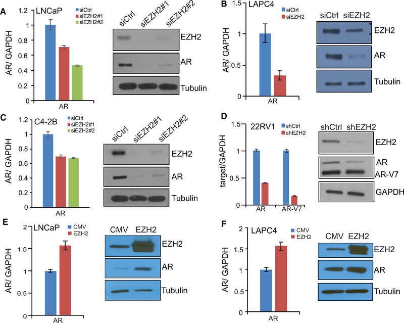 EZH2 Increases AR mRNA and Protein Levels (A–D) EZH2 knockdown decreases AR mRNA and protein levels. LNCaP (A), LAPC4 (B), C4–2B (C), and 22RV1 (D) cells were transfected with control or siEZH2s or infected with control shRNA or shEZH2, followed by qRT-PCR (left) and western blot analysis (right). Data shown are mean (±SEM) of technical replicates from one representative experiment of three. (E and F) EZH2 overexpression increases AR mRNA and protein levels. LNCaP (E) and LAPC4 (F) cells were infected with CMV or an EZH2-expressing adenovirus for 48 hr, followed by qRT-PCR (left) and western blot analysis (right). Data shown are mean (±SEM) of technical replicates from one representative experiment of three.
