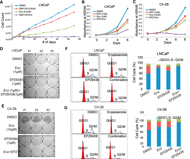 Simultaneous EZH2 and AR Targeting Remarkably Inhibited PCa Cell Growth (A) Combinatorial GSK126 and enzalutamide (Enz) treatment significantly inhibited LNCaP cell growth and drug resistance. LNCaP cells were maintained in DMSO, GSK126 (0.5uM), Enz (0.5uM), or both for 55 days. Cells were counted and re-plated whenever needed, and accumulated cell numbers were determined. Data shown are for one representative experiment of two. (B and C) LNCaP (B) or C4–2B (C) cells were treated with DMSO, Enz (1 μM for LNCaP and10 μM for C4–2B), EPZ (1 μM), or both. Cell growth was measured with WST-1 reagent every 2 days. Data shown are mean ± SEM of technical replicates from one representative experiment of three. (D and E) LNCaP (D) or C4–2B (E) cells were treated with DMSO, Enz (1 μM for LNCaP and 10 μM for C4–2B), EPZ (1 μM), or both for 2 weeks, followed by 0.002% crystal violet staining to assay colony formation. Data shown are technical replicates from one representative experiment of three. (F and G) Combinatorial Enz and EPZ treatment induced cell cycle arrest. LNCaP (F) or C4–2B (G) cells were treated with DMSO, Enz (1 μM for LNCaP and 10 μM for C4–2B), EPZ (1 μM), or both for 3 days, followed by cell cycle analysis via flow cytometry with propidium iodide staining.