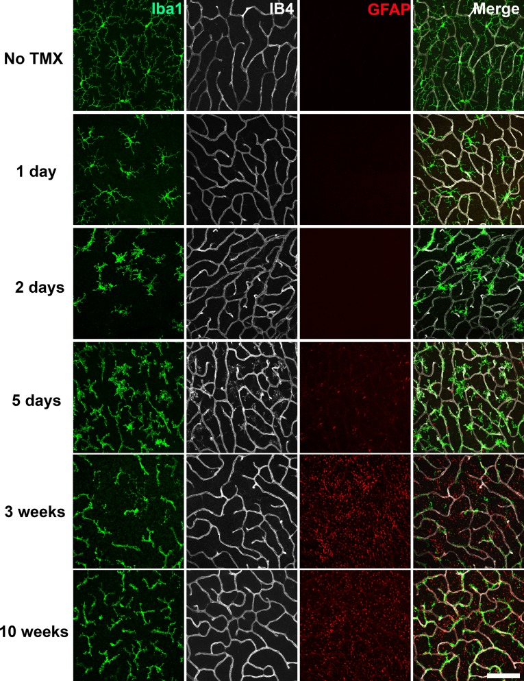 Specific TGFBR2 ablation in retinal microglia induces rapid and progressive changes in microglial morphology and distribution. The time course of morphological changes in retinal microglia following tamoxifen (TMX)-induced ablation of TGFBR2 expression was followed using immunohistochemical analysis in retinal flat-mounts. Panels show changes at the level of the OPL; microglia were labeled using an antibody to IBA1 and retinal vessels labeled with IB4. Gliotic changes in radial Müller glia processes were marked using an antibody to GFAP. At 1 day following TMX administration, a slight reduction in ramification in microglia processes was observed. From 2–5 days post-TMX, a further decrease in microglial ramification and an increase in microglia numbers were detected. From 3–10 weeks post-TMX, retinal microglia transitioned to a branched morphology, demonstrating a close fasciculation with the retinal vasculature. GFAP immunopositivity in Müller glia was prominently upregulated at this time. Scale bar = 100 µm.