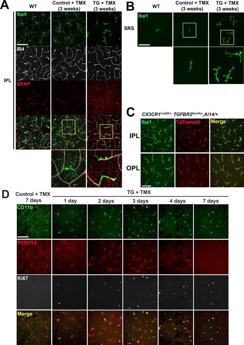 Specific TGFBR2 ablation in retinal microglia induces alterations in microglial morphology in the IPL and SRS. ( A, B ) Comparison of retinal flat-mounts from untreated wild type animals, control and TG animals administered tamoxifen (TMX) at the 3 week post-TMX time point demonstrated a transition from a ramified to a branched morphology in TG animals, but in control animals. Images of microglia at the level of the inner plexiform layer (IPL) ( A ) and subretinal space (SRS) ( B ) are shown. Microglia in TG animals in the IPL transitioned to a branched morphology, adhering closely to retinal vessels but those in WT and TMX-treated control animals remained unchanged. Insets ( yellow boxes ) show examples at higher magnification. ( C ) Cx3cr1 CreER/+ , TGFBR2 flox/flox , Ai14/+ mice, in which tamoxifen-induced Cre recombination induced specific ablation of TGFBR2 and expression of tdTomato in CX3CR1-expressing microglia and monocytes, were analyzed 4 months after tamoxifen to allow sufficient time for systemic monocytes to be turned over and become tdTomato-negative. All IBA1+ microglia in both the IPL and OPL demonstrated tdTomato labeling, indicating that ongoing monocyte infiltration did not contribute to the population of TGFBR2-deficient myeloid cells in the retina. ( D ) Comparison of retinal flat-mounts from control and TG animals administered tamoxifen (TMX) at the level of the OPL revealed that P2RY12 immunopositive endogenous microglia in TG animals all demonstrated a progressive loss of ramification and an acquisition of Ki67-immunopositivity in the first 3 days following TMX administration, indicating that morphological transformation and cellular proliferation occurred in resident microglia. Infiltrating monocytes, (which would have been CD11b+, P2RY12-) were not detected at any timepoint. Deramified microglia gradually decreased in P2RY12 immunopositivity at 4 days and was undetectable by 7 days following TMX. Scale bars = 100 µm.