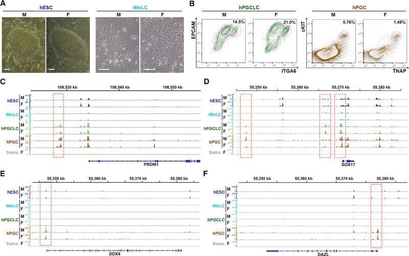 Identifying Unique Regions of Open Chromatin in Human Germline Cells (A) Morphology of male (UCLA2) and female (UCLA1) primed hESCs, and iMeLCs used for ATAC-seq. Scale bars, 100 μm. (B) Male (UCLA2) and female (UCLA1) hPGCLCs were isolated as ITGA6/EPCAM double-positive cells at day 4 of aggregate differentiation. 82d and 89d hPGCs were isolated as TNAP/cKIT double-positive cells from a pair of embryonic testes and ovaries, respectively. (C–F) Screenshot of the ATAC-seq signal over PRDM1 (C), SOX17 (D), DDX4 (E), and DAZL (F) for male and female primed hESCs, iMeLCs, hPGCLCs, hPGCs, and embryonic somatic cells (soma.). Red dotted boxes highlight ATAC-seq peaks in hPGCLCs and/or hPGCs, but not in primed hESCs, iMeLCs, or embryonic somatic tissues. F, female; M, male. See also Figure S1 .