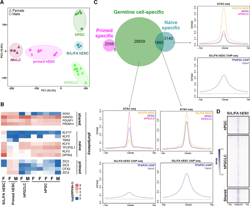 Reacquisition of Ground-State Naive Pluripotency in Human Germline Cells (A) Principal component analysis (PCA) of transcriptomes of ground state naive hESCs cultured in 5i/L/FA media, primed hESCs, iMeLCs, hPGCLCs, and hPGCs. Gene expression analysis was based on the RNA-seq data from Pastor et al. (2016) (5i/L/FA ground-state naive hESCs) and Chen et al. (2017) (primed hESCs, iMeLCs, hPGCLCs, and hPGCs). (B) Heatmap showing the expression of pluripotency genes in 5i/L/FA ground-state naive hESCs, primed hESCs, hPGCLCs, and hPGCs. The five hPGCs samples are 89d female, 103d female, 89d female, 89d female, and 59d male from left to right. F, female; M, male. (C) Venn diagram showing the overlap of germline cell-specific ATAC-seq regions with naive-specific and primed-specific regions identified by Pastor et al. (2018) . Metaplot of the ATAC-seq signals in 5i/L/FA ground-state naive hESCs, hPGCLCs, and hPGCs and TFAP2C ChIP-seq signals in naive hESCs over regions defined from the Venn diagram. (D) Heatmap showing the ground-state naive hESCs ATAC-seq signals ( Pastor et al., 2018 ) over hPGC-specific, hPGCLC-specific, and hPGC/hPGCLC-shared peaks. See also Figure S3 .