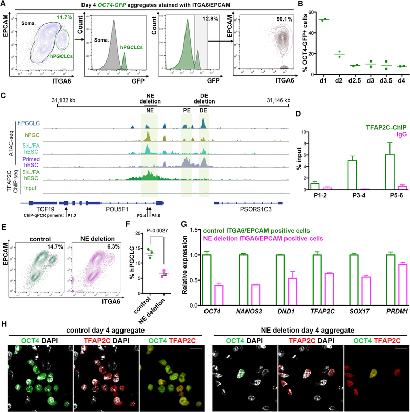 The OCT4 NE Is Involved in hPGCLC Formation (A) Flow cytometry of aggregates at day 4 of differentiation from H1 hESC line genetically modified to express GFP from the OCT4 locus (OCT4-GFP). hPGCLCs (ITGA6/EPCAM double-positive cells) are also positive for GFP. In contrast, non-hPGCLCs are GFP negative. Most OCT4-GFP-positive cells are positive for ITGA6/EPCAM. Three biological replicates were performed. (B) Summary of OCT4-GFP-positive cells during aggregate differentiation from days 1 to 4. The GFP-positive gate was set according to the GFP gate from (A). Two biological replicates were performed. (C) Screenshot of ATAC-seq and TFAP2C ChIP-seq signals showing three enhancers at the POU5F1 locus (encoding OCT4). Shaded boxes highlight the naive enhancer (NE), proximal enhancer (PE), and distal enhancer (DE) at the POU5F1 locus. DE deletion and NE deletion indicate genomic regions that were deleted by CRISPR/Cas9-mediated genome editing. Primers for ChIP-qPCR (P1–2, P3–4, P5–6) of NE and control regions are shown. (D) ChIP-qPCR using anti-TFAP2C antibodies in day 4 aggregates from the UCLA1 line. IgG was used as a ChIP control. Two biological replicates for ChIP and two technical replicates for qPCR were performed. Primer (P) locations at the POU5F1 locus are shown in (C). Error bars represent SEM. (E) Flow cytometry of control and OCT4 NE deletion day 4 aggregates from the UCLA1 hESCs. hPGCLCs correspond to the ITGA6/EPCAM double-positive cells (n = 3 biological replicates). (F) Quantification of hPGCLC percentages from (E). t test was applied. Error bars represent SEM. (G) Expression of germ cell genes in ITGA6/EPCAM double-positive hPGCLCs from control and OCT4 NE deletion samples at day 4 of aggregate differentiation from UCLA1 hESCs (n = 2 biological replicates). Error bars represent SEM. (H) Immunofluorescence of OCT4 (green) and TFAP2C (red) in control and OCT4 NE deletion aggregates at day 4 of differentiation from UCLA1 hESCs (n = 2 biological replicates). hPGCLCs correspond to OCT4/TFAP2C double-positive cells. Scale bars, 15 μm. See also Figure S5 .