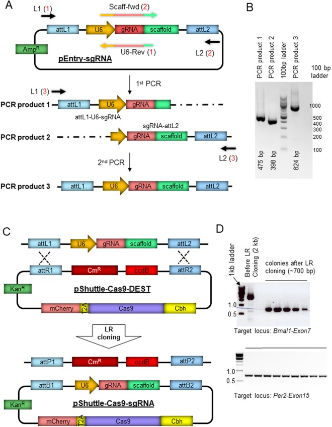Generation of an all-in-one Cas9-mCherry-sgRNA vector using the Gateway system. ( A ) A Gateway entry plasmid was generated to clone a specific sgRNA into a PCR amplicon flanked by attL1 and attL2. PCR from the Entry vector using two sets of primers with specific 20 nt gRNA sequence (reaction 1 and 2) produces two fragments that partially overlap and can be combined by an overlap extension PCR (reaction 3). Multiplexing is possible by using multiple sets of Scaff-fwd and U6-Rev primers. ( B ) PCR products of two individual fragments and a full-length L1-U6-sgRNA-L2 are shown. ( C ) The final PCR amplicons can be combined with the adenoviral shuttle vector with R1-ccdB-R2 Destination sequence or used separately. pShuttle-Cas9-DEST was generated by cloning Cas9-mCherry and R1-R2 into pShuttle. ( D ) Gateway LR cloning produces 100% positive clones. Since the background (before recombination) clones cannot grow in ccdB-incompatible bacterial cell lines such as DH5a, all the transformed colonies with the LR reaction mixture contain the recombinant without ccdB, but with sgRNA. Two independent experiments are shown.
