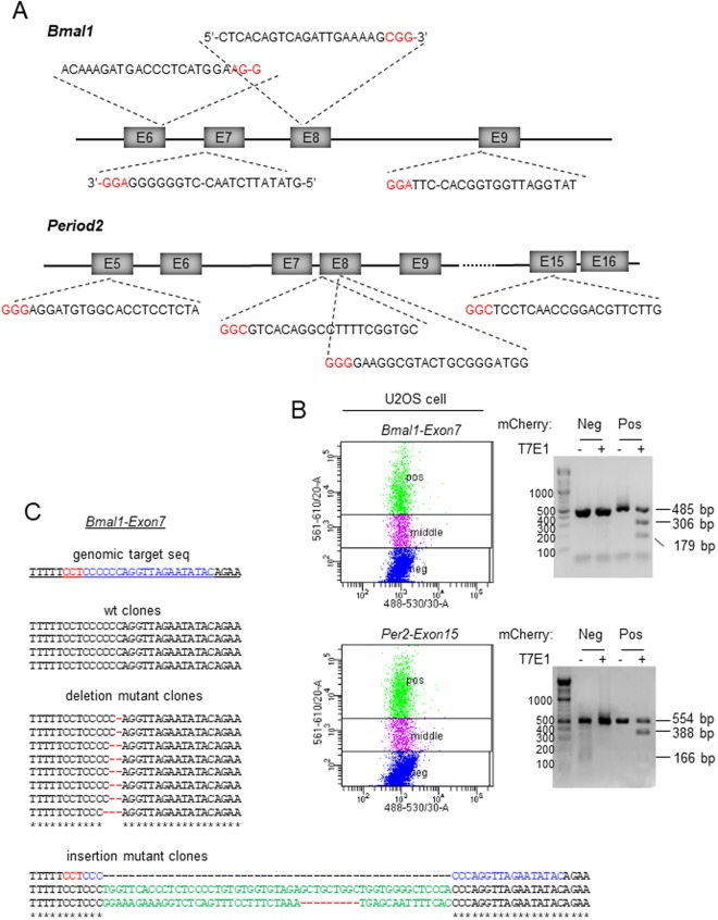 Efficient targeting of Bmal1 and Per2 genes in U2OS cells by the all-in-one CRISPR-Cas9 vector. ( A ) Four exons were targeted in each gene based on their score in a predictive software tool. The PAM sequences are indicated in red. Note that target sites for Bmal1 exon 6, 7 and 9 are close to splicing sites indicated by dashes within the sequence. ( B ) mCherry-expressing cells (Pos) were selected by FACS and subjected to T7E1 assay to assess the efficiency of indels. Control cells (Neg) were from the same FACS sorting. Cells with low mCherry signal (middle) were discarded. All of the eight samples showed similarly efficient indels, proportional to transfection efficiency. Two representative samples are shown. ( C ) Targeting of the clock genes by the all-in-one vectors produces diverse indels including frame-shifting mutations. PCR amplicons from the genomic targets of Bmal1 exon 7 and Per2 exon 15 were sequenced (see Supplementary Fig. 1 for Per2 exon 15). 15–30% of clones were wt. Deletions and insertions are indicated by lines and green characters, respectively.