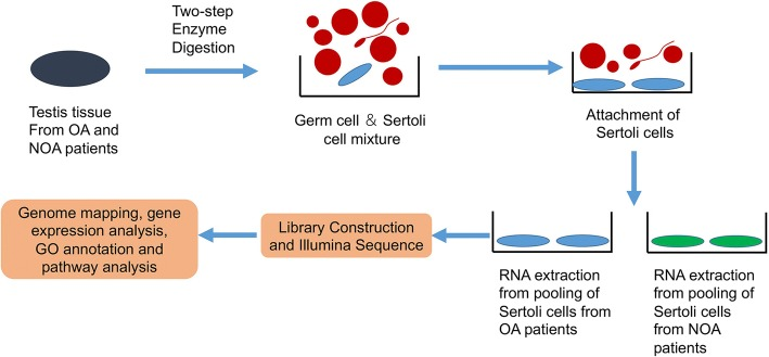 The schematic diagram shows sample processing of human Sertoli cells from OA patients and NOA patients, cell pooling, and RNA-Seq data processing procedure