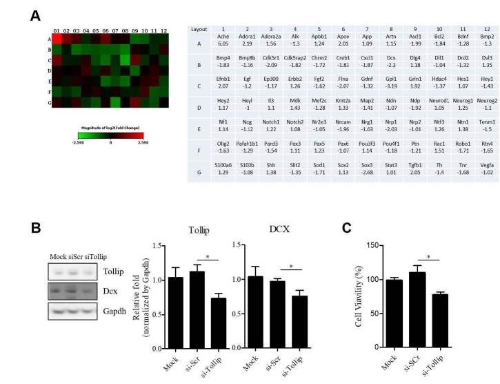(A) Heat maps representing the relative expression levels of all genes involved in neurogenesis in Neuro2A cells. Comparison of cells transfected with Tollip siRNA compared to control siRNA. Below: The list of selected genes based on fold change from PCR array (compared to si-scramble transfected cells). (B) Expression levels of Tollip and DCX in Neuro2A cells after Tollip siRNA or scramble siRNA transfection. Quantitative immunoblotting analysis was normalized by GAPDH (n=5). DCX: 45 kDa, Tollip: 30 kDa, GAPDH: 37 kDa. (C) CCK-8 analysis of the effect of knockdown of Tollip on Neuro2A survival at 72 hours after transfection. NS, not significant. Error bars show mean ± SE. *P