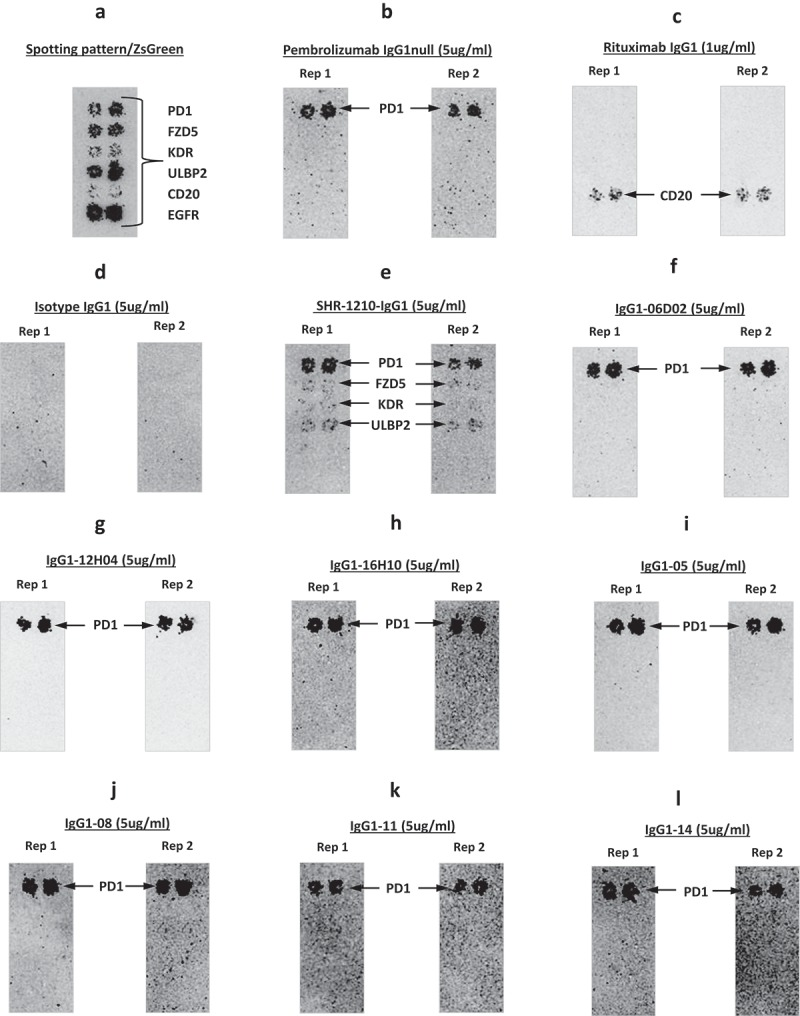 Off-target binding analysis re-array assay. Analyses of binding specificity were performed on chips in which plasmids encoding relevant targets were arrayed and used to transfect HEK-293 cells. Transfection of all plasmids was confirmed by screening for the co-encoded marker ZS green (A). Separate chips were then probed in duplicate using pembrolizumab analog (B), rituximab (C), Isotype IgG1 (D), SHR-1210-IgG1 (E), and example library-derived and designer lead IgGs (F-L). These analyses confirmed that all anti-PD1 antibodies exhibited binding to PD1, but only SHR-1210-IgG1 also exhibited unexpected off-target binding to VEGFR2, FZD5 and ULBP2 proteins.