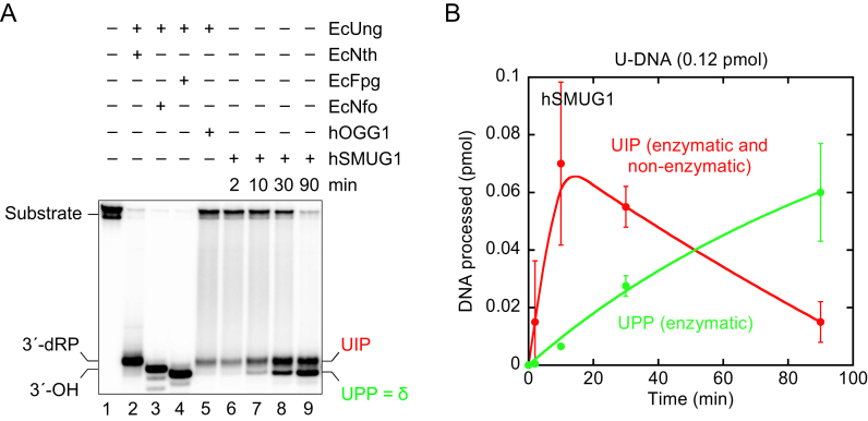 Indirect identification of UIP and UPP by electrophoretic mobility using conventional denaturing conditions. ( A, B ) Time dependence of UIP (red) and UPP (green) formation by hSMUG1. hSMUG1 (0.3 pmol) was incubated with substrate 1[ 32 P] (0.12 pmol) in 20 mM Tris-HCl, pH 8.0, 1 mM DTT, 1 mM EDTA, 70 mM KCl at 37°C. To define the different 3′-end products, substrate was incubated with either EcNth (8.7 pmol), EcNfo (0.16 pmol), EcFpg (17 pmol) or hOGG1 (13 pmol) together with EcUng (0.78 pmol) for 10 min. Incised was separated from un-incised DNA by denaturing PAGE. Each value in B represents the average (±SD) of three independent measurements.