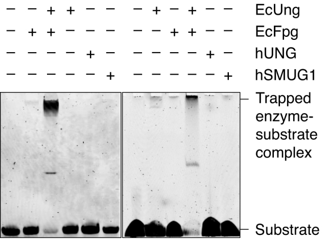 Trapping experiments for Schiff base intermediate. Left panel, EcFpg (17 pmol) alone as a negative control, and together with EcUng (3 pmol) as a positive control, EcUng as well as hUNG (5 pmol) alone as negative controls, and hSMUG1 (0.3 pmol) alone, were incubated with substrate 2 (1 pmol) and 50 mM NaBH 4 in reaction buffer at 37°C for 1 h (final volume, 10 μl). Right panel, EcFpg (10 pmol) alone as a negative control, and together with EcUng (10 pmol) as a positive control, EcUng as well as hUNG (10 pmol) alone as negative controls, and hSMUG1 (10 pmol) alone, were incubated with substrate 2 (1 pmol) and 50 mM NaBH 4 in reaction buffer at 37°C for 1 h (final volume, 10 μl). In each case (A and B), trapped was separated from un-trapped substrate by denaturing PAGE [10% (w/v)] at 200 V for 1 h. The experiments were performed in triplicate showing the same result.