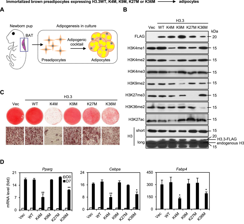 Histone H3.3K4M and H3.3K36M mutations impair adipogenesis. ( A ) A schematic of the process of preadipocyte derivation from interscapular BAT of newborn pup, followed by adipogenesis assay in culture. (B–D) Immortalized brown preadipocytes were infected with retroviral vector (Vec) expressing FLAG-tagged wild type (WT) or K-to-M mutant histone H3.3, followed by adipogenesis assay. ( B ) Histone extracts from preadipocytes were subjected to western blot analyses using antibodies indicated on the left. Long exposure of histone H3 Western blot reveals the relative levels of ectopic H3.3 and endogenous H3. ( C ) Six days after induction of differentiation, cells were stained with Oil Red O. Upper panels, stained dishes; lower panels, representative fields under microscope. ( D ) qRT-PCR of Pparg, Cebpa , and Fabp4 expression at day 0 (D0) and day 6 (D6) of adipogenesis. Quantitative PCR data in all figures are presented as means ± SEM. Statistical comparison between groups was performed using Student's t -test in all figures. WT at D7 was compared to K4M and K36M ( ∗∗ P