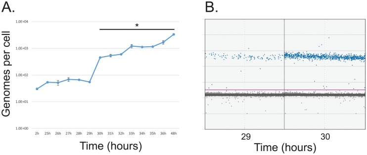 Analysis of viral genome copy number in the first 48 hours of infection with HAdV5. (A) Arrested IMR-90 cells were infected with dl 309 at a MOI of 50. Viral DNA was extracted at the indicated time points, and absolute quantification of viral genomes using E4orf3 primers was measured using the BioRad QX200 droplet digital PCR system. Viral genomes are plotted on per cell basis. Error bars represent standard deviation of biological replicates, n = 2. Bar with asterisk represents changes above mock level that are statistically significant with p ≤ 0.0001. (B) Sample droplet distribution from one of the biological replicates for 29 and 30 hour time points from (A).