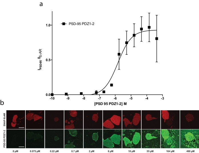 PSD-95 PDZ1-2 binding to SF-β1AR in supported cell membrane sheet. ( a ) Concentration dependent normalized binding of PSD-95 PDZ1-2 (black) to β 1 AR (K d * =3 ± 2), n = 3. ( b ) Representative images demonstrating a PSD95-PDZ1-2 concentration series on supported cell membranes expressing the β1-AR.