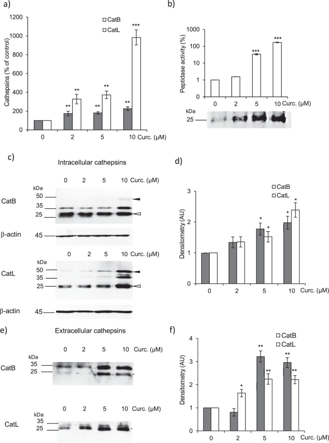 Expression level of cathepsins B and L in CCD-19Lu myofibroblasts treated by curcumin. Three days after induction of the differentiation of CCD-19l-Lu cells by TGF-β1 (5 ng/ml), curcumin (0–10 µM) was added for 48 h. ( a ) Quantitative real time PCR analysis of CatB and CatL. mRNA levels are normalized and expressed as percentage relative to untreated control (n = 3). ( b ) The related peptidase activity of secreted cysteine cathepsins was measured using Z-Phe-Arg-AMC (50 µM) as substrate. Results (corresponding to the release of fluorescent AMC, reported as arbitrary unit) are normalized and expressed as percentage relative to control in the absence of curcumin treatment (n = 3). Active site labeling of extracellular cathepsins by Biotinyl-(PEG) 2 -Ahx-LVG-DMK. Culture media of CCD-19Lu cells were incubated for 1 h with the activity-based probe (10 µM) at 30 °C according to 49 . Samples were subjected to electrophoresis on 12% SDS-PAGE under reducing conditions, electrotransferred to a nitrocellulose membrane, then blocked with 3% BSA in PBS-T. After incubation with an extravidin-peroxydase conjugate (1:3000, Sigma Aldrich) 2 h at room temperature, active cathepsins (lanes: 0, 2, 5, and 10 µM curcumin) were stained by chimiluminescence (ECL Plus Western Blotting Detection system). Full-length blots are presented in Supplementary Fig. 5 . ( c ) Two days after addition of curcumin, myofibroblasts layers were lysed, and the expression of intracellular CatB and CatL was analyzed by western blotting. A representative sample is shown (n = 3). White arrows indicate mature forms; black arrows correspond to pro-CatB and pro-CatL. β-actin was used for load control. Full-length blots are presented in Supplementary Fig. 5 . ( d ) Densitometric analysis of the protein level of intracellular mature CatB and CatL (normalized data relative to control without curcumin, n = 3). ( e ) Two days after treatment with curcumin, the protein level of extracellular CatB and CatL was analyze