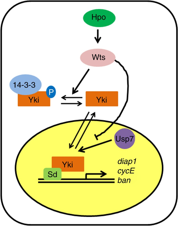 A proposed model of Usp7 deubiquitinating Yorkie (Yki). When Hippo (Hpo) pathway turns on, Hpo phosphorylates and activates Wts. In turn, Wts phosphorylates the transcriptional coactivator Yki, culminating Yki retention in the cytoplasm via binding with 14-3-3. When Hpo pathway is closed, Yki translocates into the nucleus to activate the target gene expression with the assistance of Sd. The nuclear Yki protein is destabilized by proteasome, which is attenuated by Usp7