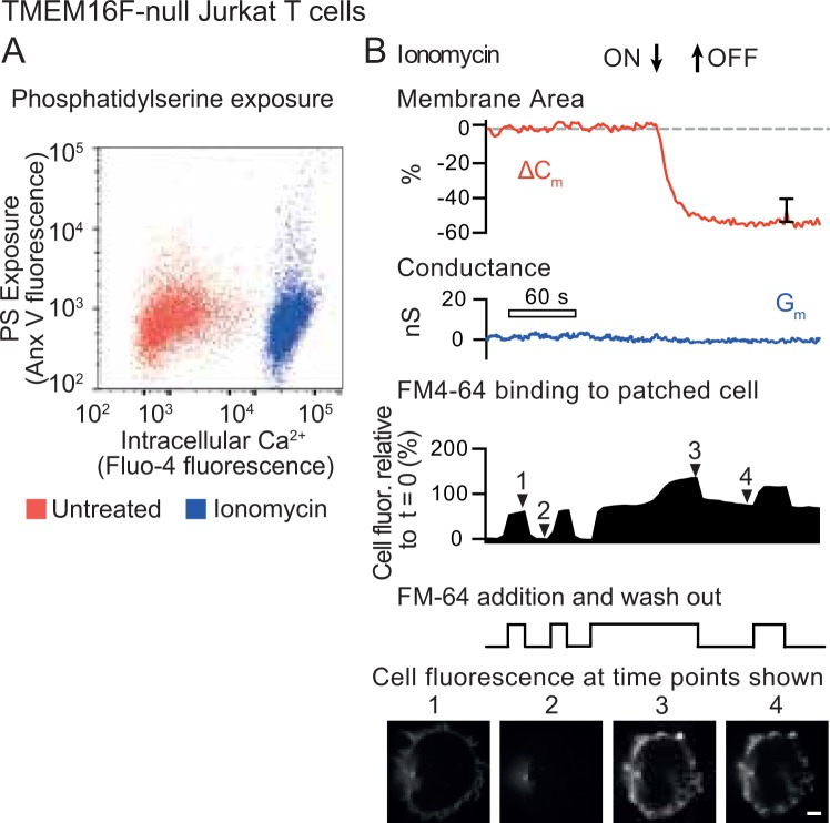 Plasma membrane internalization in TMEM16F-null Jurkat T cells treated with ionomycin. ( A ) TMEM16F-null Jurkat T cells were incubated with the cytoplasmic calcium indicator Fluo4-AM, then treated with 5 μM ionomycin for 15 minutes at 37 °C. Cells were then chilled on ice and stained with Annexin V (Anx V) to detect surface phosphatidylserine. Flow cytometry analysis shows intracellular calcium plotted against surface phosphatidylserine. ( B ) Single TMEM16F-null Jurkat T cells were patched with a glass micropipette loaded with cytoplasmic solution (see Materials and Methods) and incubated at 37 °C in Ringer's solution. Cells were then treated with 5 μM ionomycin for the period shown. Measurements were made of total capacitance, C m , which reflects plasma membrane area, and transmembrane conductance, G m . The red trace shows the change in capacitance (∆C m ) compared to t = 0, while the blue trace shows G m . A typical ∆C m trace is shown, the error bar represents standard error of the mean (SEM) at 150 s post ionomycin addition (n = 10). In addition, the dye FM4-64, which binds reversibly to membranes, was added to the same patched cell and removed as shown. The solid trace shows total FM4-64 fluorescence of the cell, measured by a confocal microscope, relative to t = 0. Below are images of FM4-64 fluorescence taken using confocal microscopy at the time points shown (scale bar is 5 μm).