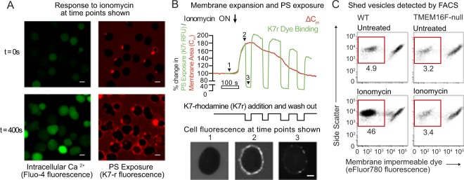 Simultaneous surface phosphatidylserine exposure and plasma membrane expansion is followed by membrane vesicle shedding. ( A ) Jurkat T cells were loaded with the cytoplasmic calcium indicator Fluo4-AM, then treated with 5 μM ionomycin for 400 s at 37 °C in the presence of polylysine-rhodamine (K7r) which binds rapidly to exposed phosphatidylserine. Confocal microscope images of Fluo4-AM and K7r fluorescence in a single field of cells are shown (scale bar is 10 μm). ( B ) A single TMEM16F-null Jurkat T cells was patched with a glass micropipette loaded with cytoplasmic solution (see Materials and Methods), incubated at 37 °C in Ringer's solution, then treated with 5 μM ionomycin at the time shown. Total capacitance, C m , was measured and the red trace shows the change in capacitance (∆C m ) compared to t = 0. In addition, K7r was added to the same patched cell and removed as shown. The green trace shows total K7r fluorescence of the cell, measured by a confocal microscope, relative to t = 0. Below are images of K7r fluorescence taken using confocal microscopy at the time points shown (scale bar is 5 μm). (C) Wild-type or TMEM16F-null Jurkat T cells were treated with 5 μM ionomycin for 15 minutes in the presence of eFluor780, a plasma membrane impermeable dye. The cell preparations were analyzed by FACS. The events shown were first gated on subcellular sized particles using forward scatter and side scatter. Staining of these subcellular particles is displayed versus side scatter, with unstained events representing dye impermeable membrane vesicles rather than apoptotic bodies. The numbers shown represent the percentage of total events.