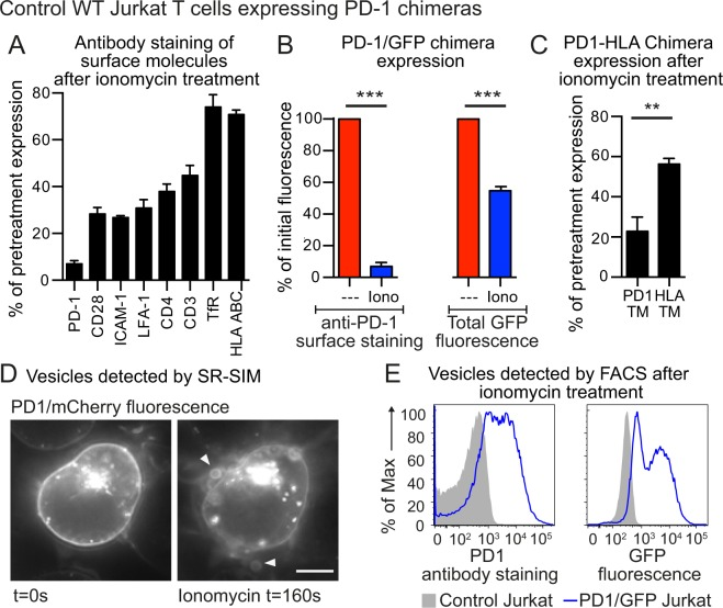 Wild-type Jurkat T cells shed PD-1 upon treatment with ionomycin ( A ) Control wild-type Jurkat T cells over-expressing a PD-1/GFP chimera were treated with 5 μM ionomycin for 15 minutes at 37 °C for 15 minutes then chilled and stained at 4 °C for expression of a variety of surface molecules and analyzed by FACS. Data shows the percentage of initial surface expression after ionomycin treatment. ( B ) Control wild-type Jurkat T cells over-expressing a PD-1/GFP chimera were treated with 5 μM ionomycin for 15 minutes at 37 °C then chilled and stained at 4 °C for PD-1 expression. PD-1 staining and cellular GFP expression were analyzed by FACS; data shows the percentage of initial expression after ionomycin treatment. ( C ) Control wild-type Jurkat T cells over-expressing a PD-1/GFP chimera, or a PD-1/GFP chimera where the PD-1 transmembrane sequence was replaced by that from HLA-A2, were treated with 5 μM ionomycin for 15 minutes at 37 °C then chilled and stained at 4 °C for PD-1 expression. PD-1 staining was analyzed by FACS; data shows the percentage of initial expression after ionomycin treatment. (D) Control wild-type Jurkat T cells over-expressing a PD-1/mCherry chimera, were imaged by SR-SIM microscopy before and after ionomycin treatment. Arrows indicate fluorescent vesicles (scale bar is 5 μm). ( E ) Control wild-type Jurkat T cells, or control wild-type Jurkat T cells over-expressing a PD-1/GFP chimera, were stained with an anti-PD-1 antibody, then treated with 5 μM ionomycin for 15 minutes at 37 °C in the presence of fixable viability dye eFluor780. The cell preparations were analyzed by FACS. The events shown were first gated on subcellular sized events (low forward scatter) and intact membranes (low fixable viability dye eFluor780 staining). PD-1 and GFP expression in these gated events is shown. Cellular FACS data shows the mean +/− SEM for three independent experiments. (***p