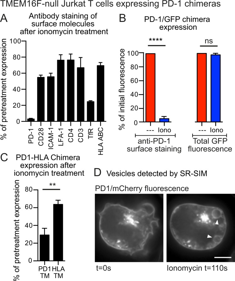 TMEM16F-null Jurkat T cells internalise PD-1 upon treatment with ionomycin ( A ) TMEM16F-null Jurkat T cells over-expressing a PD-1/GFP chimera were treated with 5 μM ionomycin for 15 minutes at 37 °C for 15 minutes then chilled and stained at 4 °C for expression of a variety of surface molecules and analyzed by FACS. Data shows the percentage of initial surface expression after ionomycin treatment. ( B ) TMEM16F-null Jurkat T cells over-expressing a PD-1/GFP chimera were treated with 5 μM ionomycin for 15 minutes at 37 °C then chilled and stained at 4 °C for PD-1 expression. PD-1 staining and cellular GFP expression were analyzed by FACS; data shows the percentage of initial expression after ionomycin treatment. ( C ) TMEM16F-null Jurkat T cells over-expressing a PD-1/GFP chimera, or a PD-1/GFP chimera where the PD-1 transmembrane sequence was replaced by that from HLA-A2, were treated with 5 μM ionomycin for 15 minutes at 37 °C then chilled and stained at 4 °C for PD-1 expression. PD-1 staining was analyzed by FACS; data shows the percentage of initial expression after ionomycin treatment. ( D ) TMEM16F-null Jurkat T cells over-expressing a PD-1/mCherry chimera, were imaged by SR-SIM microscopy before and after ionomycin treatment. Arrows indicate fluorescent vesicles (scale bar is 5 μm). Cellular FACS data shows the mean +/− SEM for three independent experiments. (****p