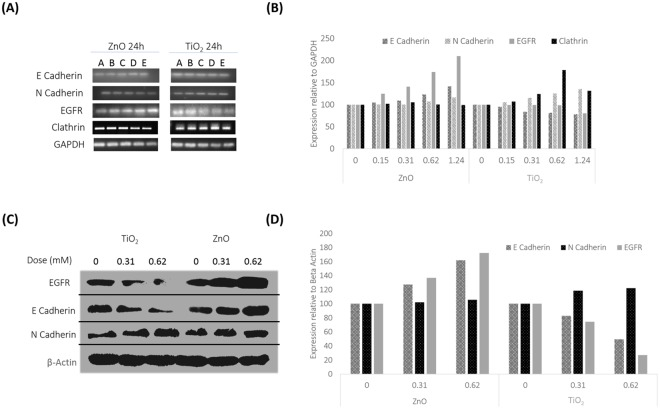 ( A ) Evaluation of EMT by mRNA level expression of E Cadherin, N Cadherin, EGFR and Clathrin. 24 Hours expression pattern of E Cadherin, N Cadherin, EGFR and Clathrin at the mRNA level was documented in a dose dependent manner. Doses; A- 0, B- 0.15, C-0.31, D-0.62 and E-1.24 mM. The best gel of 3 independent experiments is shown here. Results of the independent experiments were following a similar trend in expression. ( B ) Statistical Analysis mRNA level expression of E Cadherin, N Cadherin, EGFR and Clathrin. Dose dependent expression profile is plotted from the best representative gel for E Cadherin, N Cadherin, EGFR and Clathrin, relative to the internal control GAPDH in response to MeOx NP treatment. P values for ZnO treatment are; E Cadherin- 0.000001773 (***), N Cadherin- 2.75E-06 (***), EGFR- 0.000404547 (***) and Clathrin- 9.05E-06 (***). TiO 2 exposure resulted in P values of; E Cadherin- 0.0001219 (***), N Cadherin- 3.816E-05 (***), EGFR- 4.1E-05 (***) and Clathrin- 0.010 (**). ( C ) Evaluation of EMT through protein level expression of E Cadherin, N Cadherin and EGFR by western blot analysis. Dose dependent expression of E Cadherin, N Cadherin and EGFR is documented to MeOx NP treatment. The best blot of 3 independent experiments is shown here. Results of the independent experiments were following a similar trend in expression. ( D ) Statistical Analysis of EMT markers E Cadherin, N Cadherin along with EGFR at protein level. Dose dependent expression of E Cadherin, N Cadherin and EGFR is plotted from the best representative blot, after normalizing with the internal control; Beta Actin in response to MeOx treatment. P Values for ZnO treatment are; E Cadherin- 0.017406 (*), N Cadherin- 0.00404711 (**) and EGFR- 0.0027940 (**). TiO 2 exposure resulted in p values of; E Cadherin- 0.037336 (*), N Cadherin- 0.0350571 (*) and EGFR- 0.04914 (*).