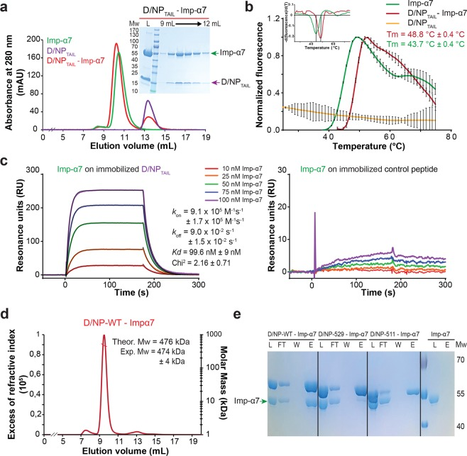 Interaction of D/NP and D/NP TAIL with importin-α7. ( a ) Size exclusion chromatography profile of a mixture between human importin-α7 and D/NP TAIL . The mixture (molar ratio 1 importin-α7 for 2 D/NP TAIL ) was incubated 1 hour at room temperature and then loaded on a Superdex TM 75 10/300GL column equilibrated with the running buffer 20 mM Tris-HCl pH 7.5, 250 mM NaCl, 5 mM β-mercaptoethanol. ( b ) Thermal stability assay of importin-α7 in absence (green) or in presence (red) of D/NP TAIL using Thermofluor 76 . In presence of D/NP TAIL , the melting temperature of importin-α7 is 5 °C higher. D/NP TAIL alone using Thermofluor did not give any denaturation signal (yellow curve). The upper insert corresponds to the derivative of the fluorescence signal for a precise measure of the melting temperature. ( c ) Affinity of importin-α7 for D/NP TAIL by measured by surface plasmon resonance (SPR). Biotinylated D/NP TAIL (left) and control peptide (right) were captured on a streptavidin-coated sensor chip surface before injections of several importin-α7 concentrations (10 nM in red, 25 nM in orange, 50 nM in green, 75 nM in blue and 100 nM in purple). The sensorgrams of the interaction between D/NP TAIL and importin-α7 were fitted under a Langmuir 1:1 binding model with mass-transfer (black line). ( d ) SEC-MALLS analysis of D/NP in complex with importin-α7. The mixture (molar ratio 1 D/NP for 1.2 importin-α7) was incubated 1 hour at room temperature and then loaded on a Superdex TM 200 increase 10/300 GL. The experimental molecular weight is consistent with the expected mass of four importins-α7 bound per D/NP tetramer. ( e ) Pull-down assays of human importin-α7 by D/NP and the two C-terminal truncated mutants (D/NP-529 and D/NP-511). The his-tags are on D/NP. The mixtures (molar ratio 1 D/NP for 1.2 importin-α7) were incubated 1 hour and the experience was done as described in panel ( a ). The figure shows the coomassie blue-stained SDS-PAGE (12% polyacrylamide) with the Load, FlowThough, Wash and the second fractions (E2).