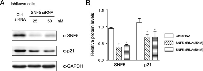 Western blotting analysis. Ishikawa cells were collected after transfection with two concentration siRNA (25 or 50 nM) against SNF5 or control siRNA. ( a ) Precipitated proteins were measured by western blotting using antibodies targeting SNF5 or p21. GAPDH was used as an internal control. ( b ) The western blotting results were analysed by Mann-Whitney test using GraphPad 6.0 software. Data are shown as the mean ± SD of three independent experiments, * P