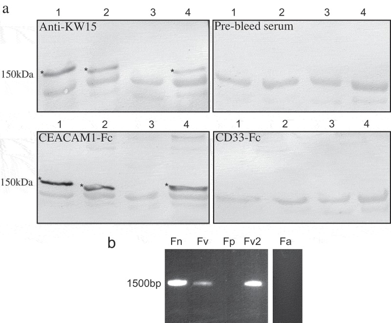 Comparison of CbpF presence in Fusobacterium species. (a) Western blots of lysates of Fusobacterium species nucleatum (Fn lane 1), vincentii (Fv lane 2), polymorphum (Fp lane 3), and a second vincentii strain (formerly F. nucleatum subspecies fusiforme (Fv2 lane 4)) were overlaid with anti-KW15, control pre-bleed serum, CEACAM1-Fc, and CD33-Fc as indicated. Note the CEACAM1-Fc and anti-KW15 binding bands in Fn, Fv, and Fv2 (*) but not in Fp. (b) PCR of cbpF from F . spp. Note the ~1,500 bp product for Fn, Fv, and Fv2 but no product as expected for Fp or Fa. Data are representative of two independent experiments.