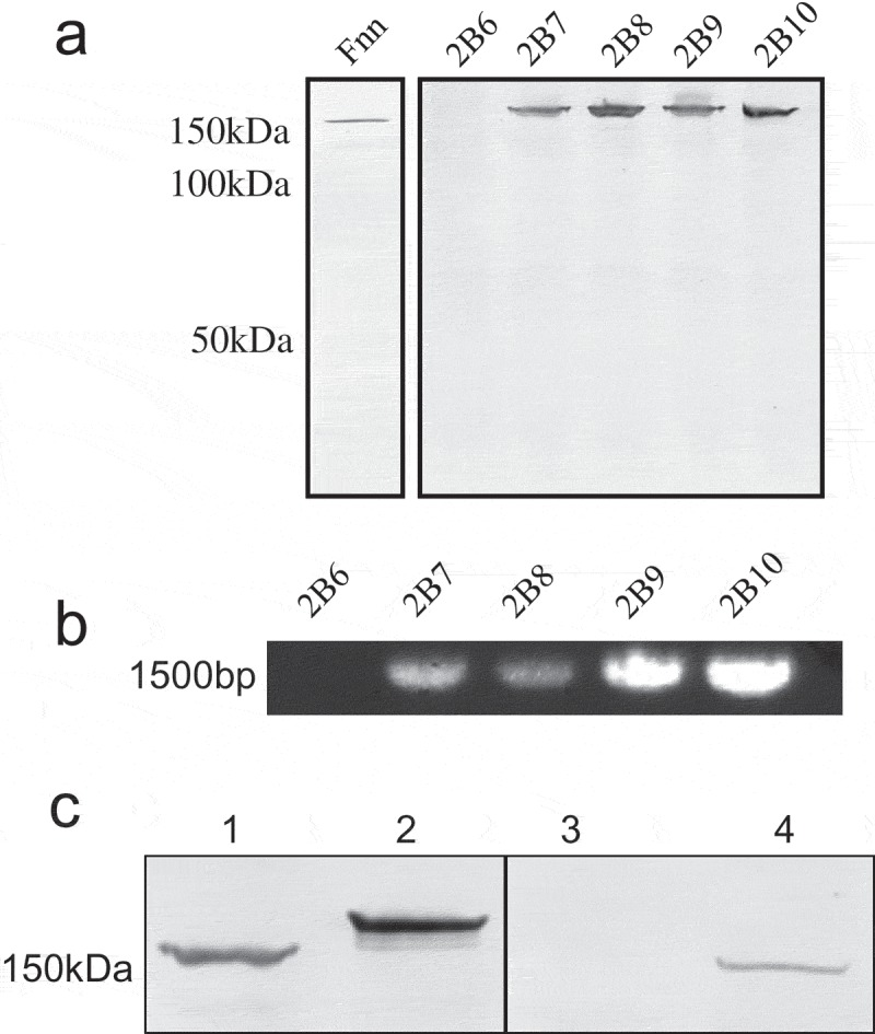 Analyses of CEACAM1 binding and cbpF gene presence in clinical isolates of F. nucleatum . (a) Western blot of representative clinical Fn isolates overlaid with CEACAM1-Fc. Strain designations are indicated above each lane. Note the absence of binding for 2B6 compared to the other isolates which expressed a ~150 kDa CEACAM1-binding protein. (b) PCR for cbpF from representative clinical isolates. Strain designations are indicated above each lane. Note the lack of product for isolate 2B6 corresponding with a lack of CEACAM1 binding observed in A. (c) Analysis of CbpF migration from the two distinct phylogenetic groups. Western blot overlay indicating the relative migration of CbpF from group I (lane 1 and 4) and group II (lane 2). Lane 1, 2B17, lane 2 2B16, lane 3 2B14 (non-binding control), and lane 4 2B13. Blot was overlaid with CEACAM1-Fc at 1 μg ml −1 and detected via an alkaline phosphatase-conjugated secondary antibody. Data are representative of two independent experiments.